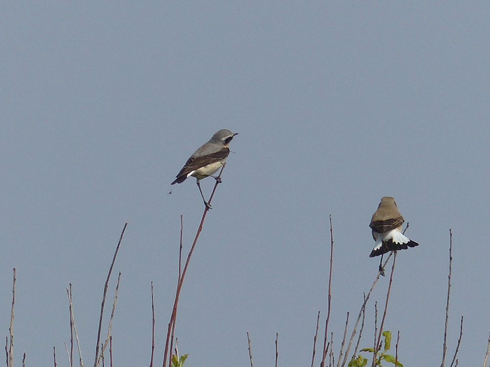 Two Wheatears