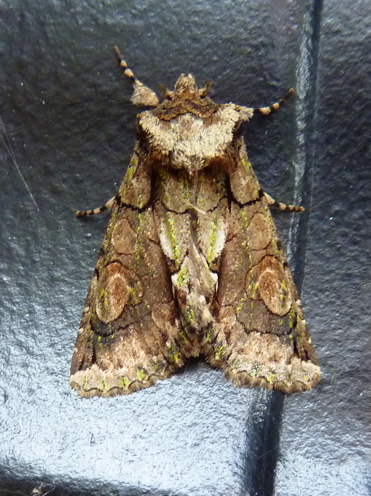 Green-brindled Crescent moth