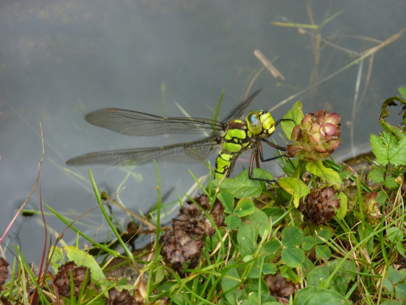 Southern Hawker dragonfly?